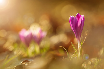 View of close-up magic blooming spring flowers crocus in amazing sunlight