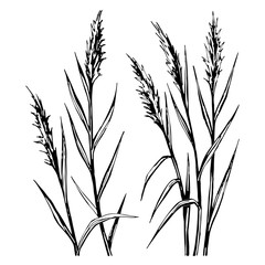 Hand drawn sketch of the reed isolated on white background.