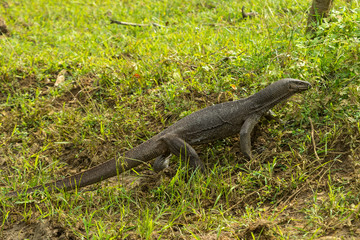 Monitor lizard (varanus bengalensis) in National wildlife park Yala Sri Lanka
