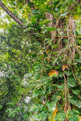 A tree trunk entwined with liana Epipremnum pinnatum. It is a species of flowering plant in the family Araceae and grows in the tropical forests of Asia. Botanical photography.