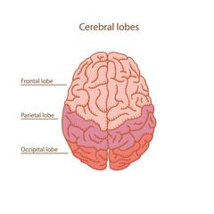 Cerebral lobes of human brain illustration