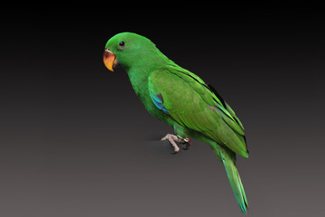 Male Eclectus Parrot, age two months