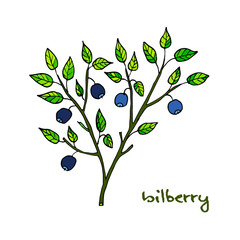 Bilberry ripe. Hand drawn illustration