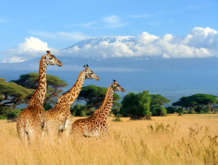 Foto op Plexiglas Three giraffe on Kilimanjaro mount background in National park of Kenya