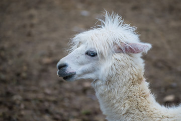 Alpaca, white ilama, funny animal, profile
