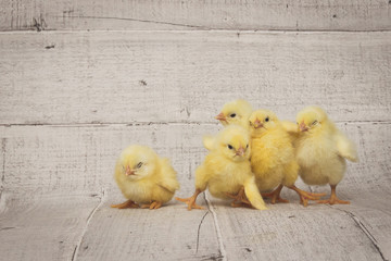 five chickens sit on the wooden floor, easter composition