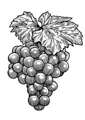 Grape illustration, drawing, engraving, ink, line art, vector