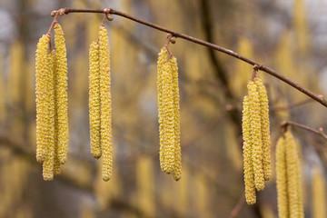hazel blooming spring