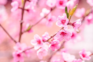 Close up photo of blossom cherry sakura tree