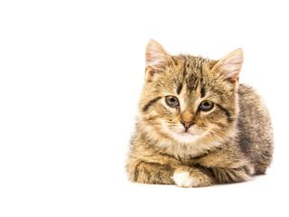 Beautiful portrait of an amazing little kitten