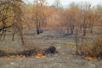 Black ashes of after forest fire in summer Caused by global warming .