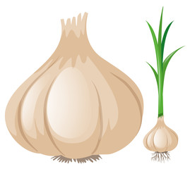 Fresh garlic on white background