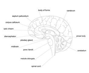 Brain anatomy outline