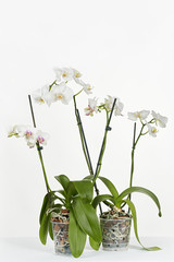 Two blossoming orchids on a gray background