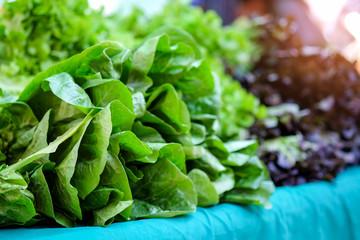 Lettuce in market organic vegetables.