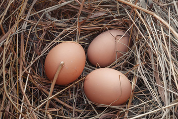 Laying of 3 eggs in a nest of dry grass