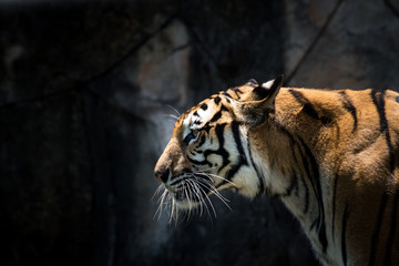 Portrait of a  tiger alert and staring at the camera