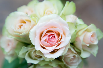 White and pink roses, beauty flowers