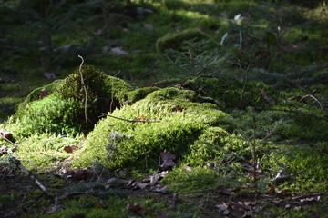 Moos auf dem Waldboden