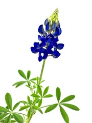 Fototapete - Bluebonnet against a white background