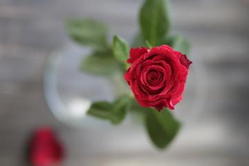 rosa fiore