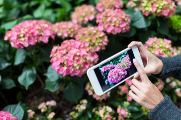 Woman taking photo on mobile phone with Hydrangea at garden