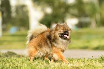 Pomeranian is running happily in the garden.