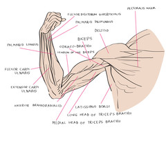 muscles of the arm color