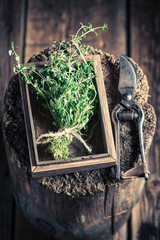 Freshly harvested thyme on an old wooden table