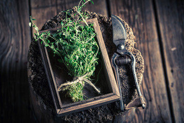 Fresh and aromatic thyme with old garden pruning scissors