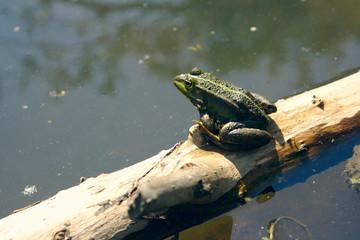 Printed roller blinds Frog Kikker aan het zonnen in het water