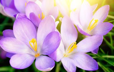 Poster Krokussen Aufgeblühte lila Krokus Blumen in Nahaufnahme, mit schönem Gegenlicht