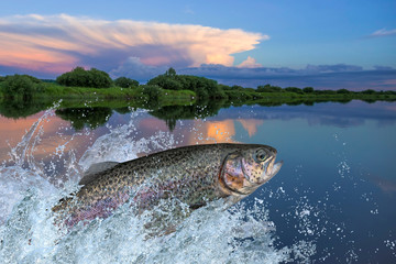 Trout fish jumping with splashing