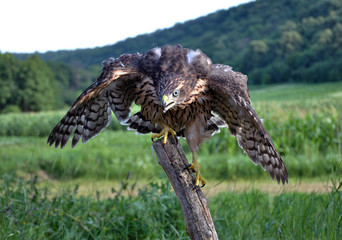 A young hawk on a background of green summer trying to fly