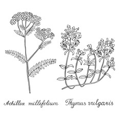 Thyme Yarrow Hand drawn sketched vector illustration. Doodle graphic