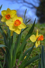 bicolored trumpet daffodils in full sun with blue sky background