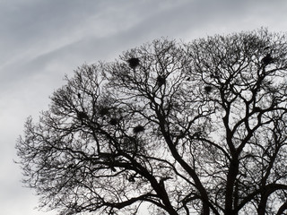 Silhouette of crows building their nests in spring time
