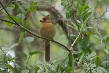 Female Cardinal Munching