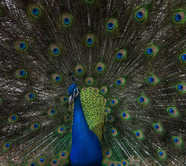Close up of peacock with iridescent turquoise blue feathers on his body and a fan of tail feathers behind. The olive green tail feathers feature eyes with turquoise, royal blue, brown and chartreuse.