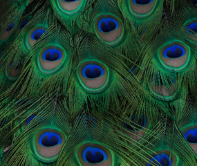 Peacock Feather Close Up with navy and royal blue, brown and chartreuse coloring. Fractals make feathers shimmer.