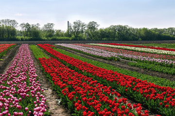 Tulip field on spring sunny day