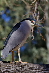 Adult black crowned night heron stands on branch