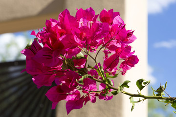 Bougainvillea highlights any home
