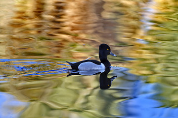 Ring necked duck paddles with reflection in sunlit water