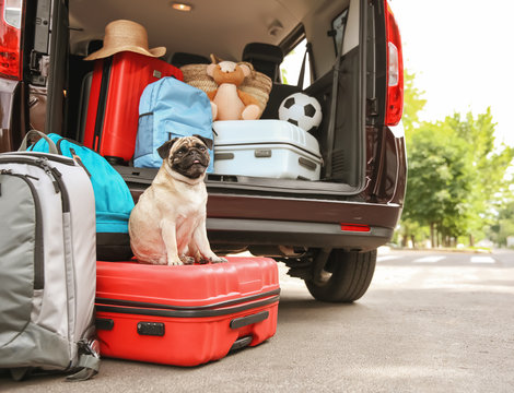 Car trunk with cute pug and luggage. Travel concept