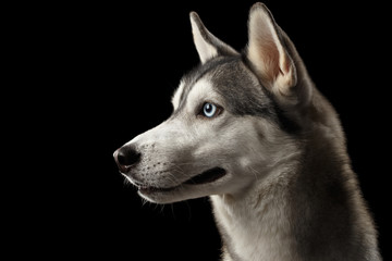 Portrait of Siberian Husky Dog with Blue eyes on Isolated Black Background, Profile view