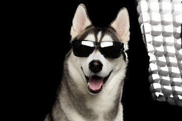 Portrait of Successful Siberian Husky Dog in Sun glasses and back flush light on Isolated Black Background, Front view