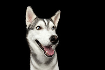 Portrait of Happy Siberian Husky Dog Smiling on Isolated Black Background, front view
