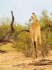 Giraffe turning head left in african savanna with an oxpecker