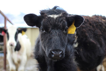 Black and white calf on a dairy farm with a yellow tag
